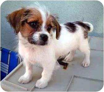 Santa Monica Ca Shih Tzu Meet Daughtry A Pet For Adoption