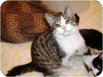 Domestic Shorthair Kitten for adoption in Walker, Michigan - Bones