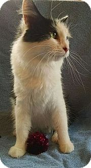 Domestic Longhair Cat for adoption in Windham, New Hampshire - China