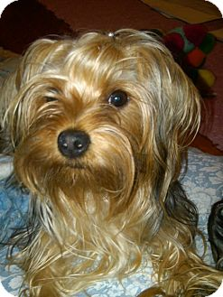 Yorkie, Yorkshire Terrier Mix Dog for adoption in Cincinnati, Ohio - Princess