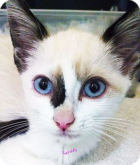 Ragdoll Kitten for adoption in New Braunfels, Texas - Sarabi