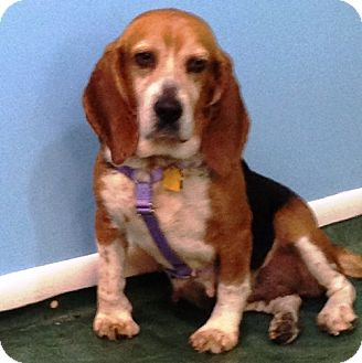 Pittsburgh Pa Beagle Meet Caitlyn A Pet For Adoption
