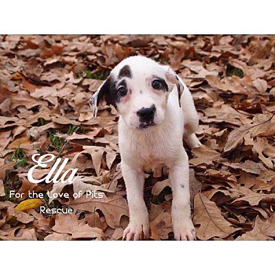 Shreveport La Catahoula Leopard Dog Meet Ella A Pet For Adoption