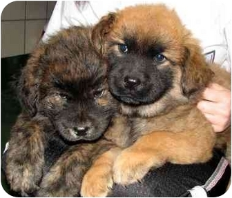 Peachtree City Ga Chow Chow Meet Puppies A Pet For Adoption