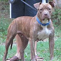 Adopt A Pet :: Brinkley (COURTESY POST) - Baltimore, MD