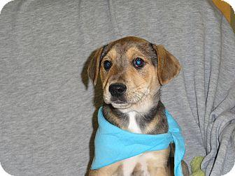 Labrador Retriever/Wheaten Terrier Mix Puppy for adoption in Hartford, Connecticut - TREY