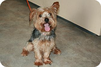 San Antonio Tx Silky Terrier Meet Tin A Pet For Adoption