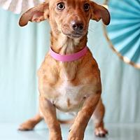 Dachshund Mix Dog for adoption in Waldorf, Maryland - Heidi