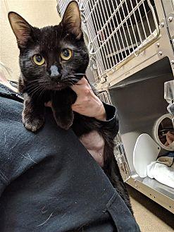 Adopt A Pet :: Bellatrix  - Edmonton, AB