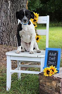 Border Collie/Sheltie, Shetland Sheepdog Mix Dog for adoption in Waldorf, Maryland - Joker