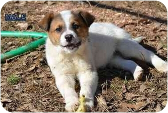 New Boston Nh St Bernard Meet Brister A Pet For Adoption