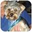 Photo 3 - Yorkie, Yorkshire Terrier Dog for adoption in Conroe, Texas - Eddie