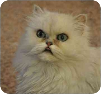 Persian Cat for adoption in Davis, California - Poppy