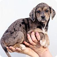 Adopt A Pet :: Belinda - Starkville, MS