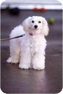 Portland Or Miniature Poodle Meet Isabella A Pet For