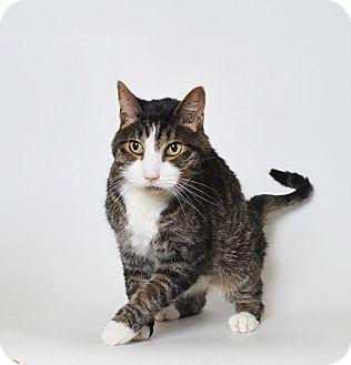 Domestic Shorthair Cat for adoption in Fruit Heights, Utah - Romeo