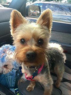 Adopt A Pet :: Rudolph  - Renton, WA