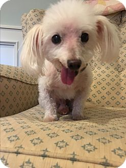 Maltese/Poodle (Toy or Tea Cup) Mix Dog for adoption in West Nyack, New York - Marky