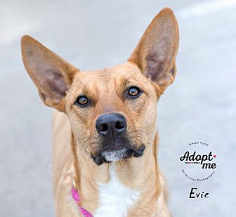 Adopt A Pet :: Evie  - Houston, TX