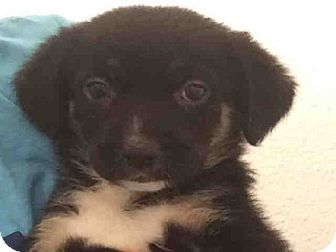 Border Collie Mix Puppy for adoption in Hartford, Connecticut - Asha