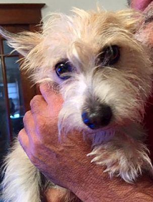 ST LOUIS, MO - Westie, West Highland White Terrier  Meet
