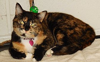 American Shorthair Cat for adoption in Burgaw, North Carolina - Gizmo
