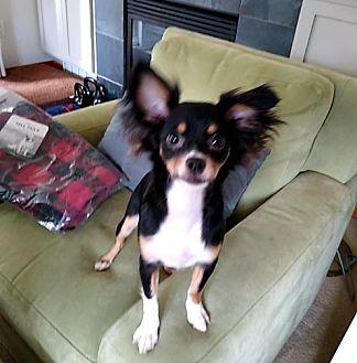 Adopt A Pet :: Fluffy  - Seattle, WA