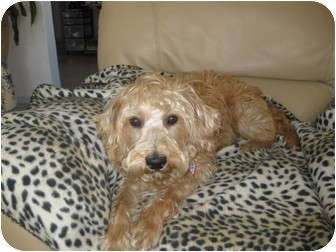 Cairn Terrier/Wheaten Terrier Mix Dog for adoption in Culver City, California - Sunny Boy