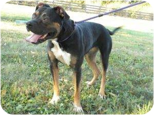 Shelbyville KY Rottweiler Meet Sable A Dog For Adoption - Terrier and rottweiler