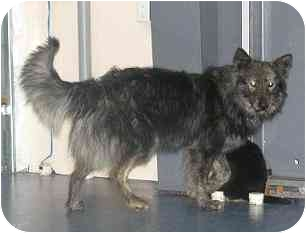 Australian Shepherd/Collie Mix Dog for adoption in Spruce Grove, Alberta - Mosely