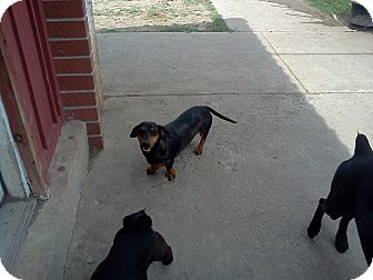 Mcallen Tx Dachshund Meet Rambo A Pet For Adoption