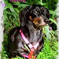 Adopt A Pet :: Hollie - Green Cove Springs, FL