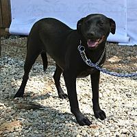 Labrador Retriever/Mixed Breed (Medium) Mix Dog for adoption in Ashland, Alabama - Licorice