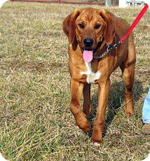 Floyd, VA - Treeing Walker Coonhound  Meet Henry a Pet for