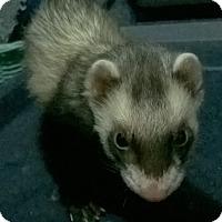 Adopt A Pet :: Thomas - Spokane Valley, WA