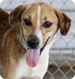 Black Mouth Cur Mix Dog for adoption in Groton, Massachusetts - Benson