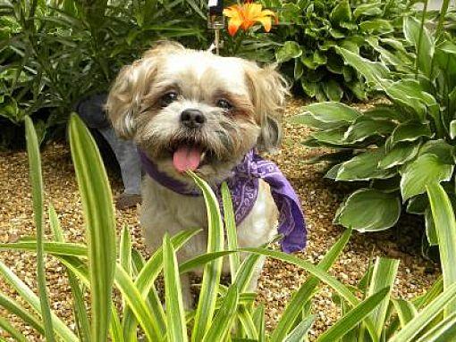 Princeton Ky Shih Tzu Meet Kiko A Pet For Adoption