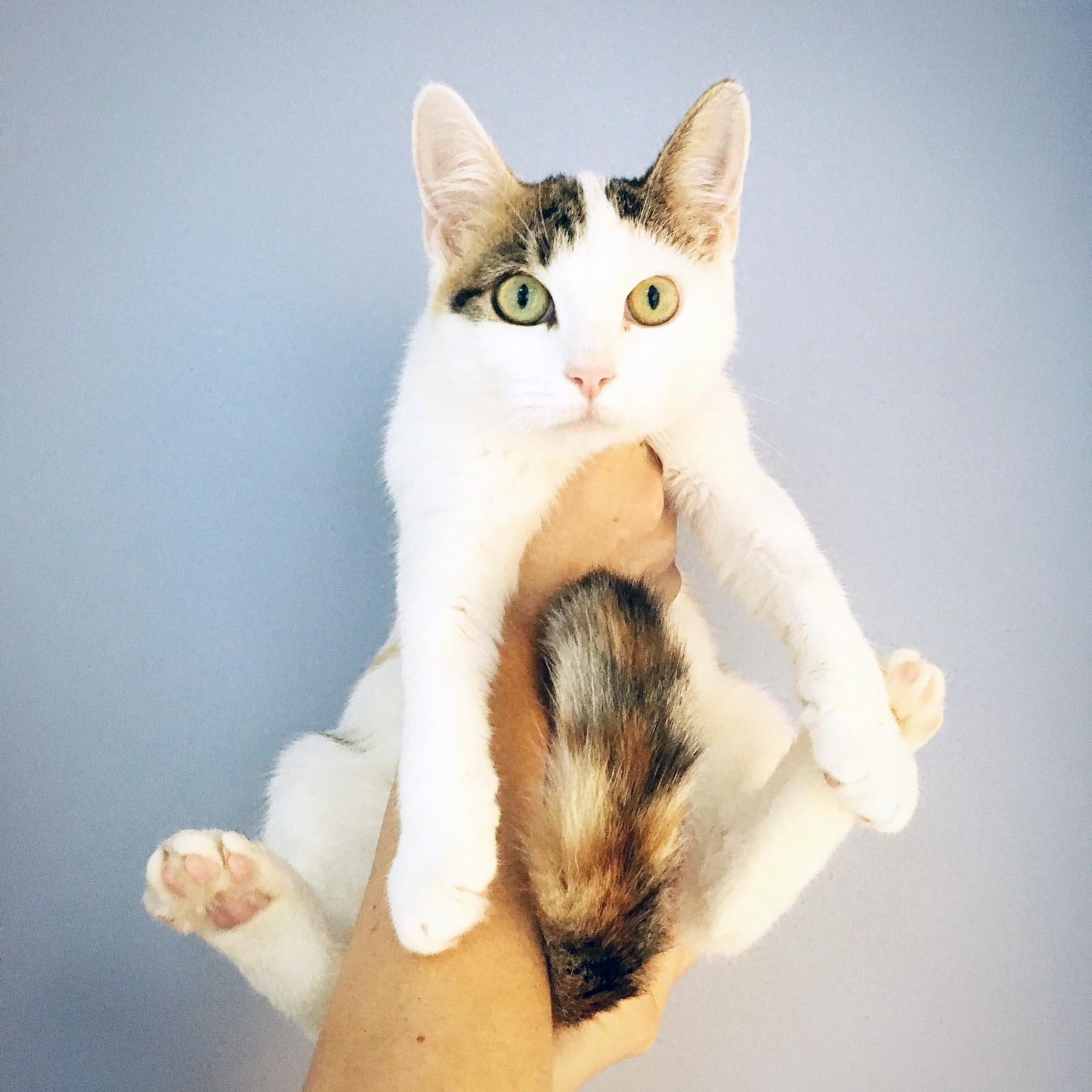 New York, NY - American Shorthair. Meet Apple a Cat for Adoption.