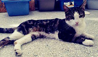 Adopt A Pet :: Foxy Boy...  - Ft Myers Beach, FL