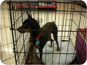 Miniature Pinscher Dog for adoption in Cocoa, Florida - Tazor