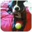 Photo 3 - American Pit Bull Terrier/Boxer Mix Dog for adoption in Edgewater, New Jersey - Romeo