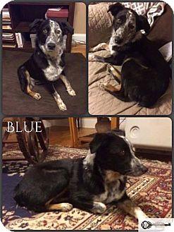 Australian Shepherd/Collie Mix Puppy for adoption in DeForest, Wisconsin - Blue