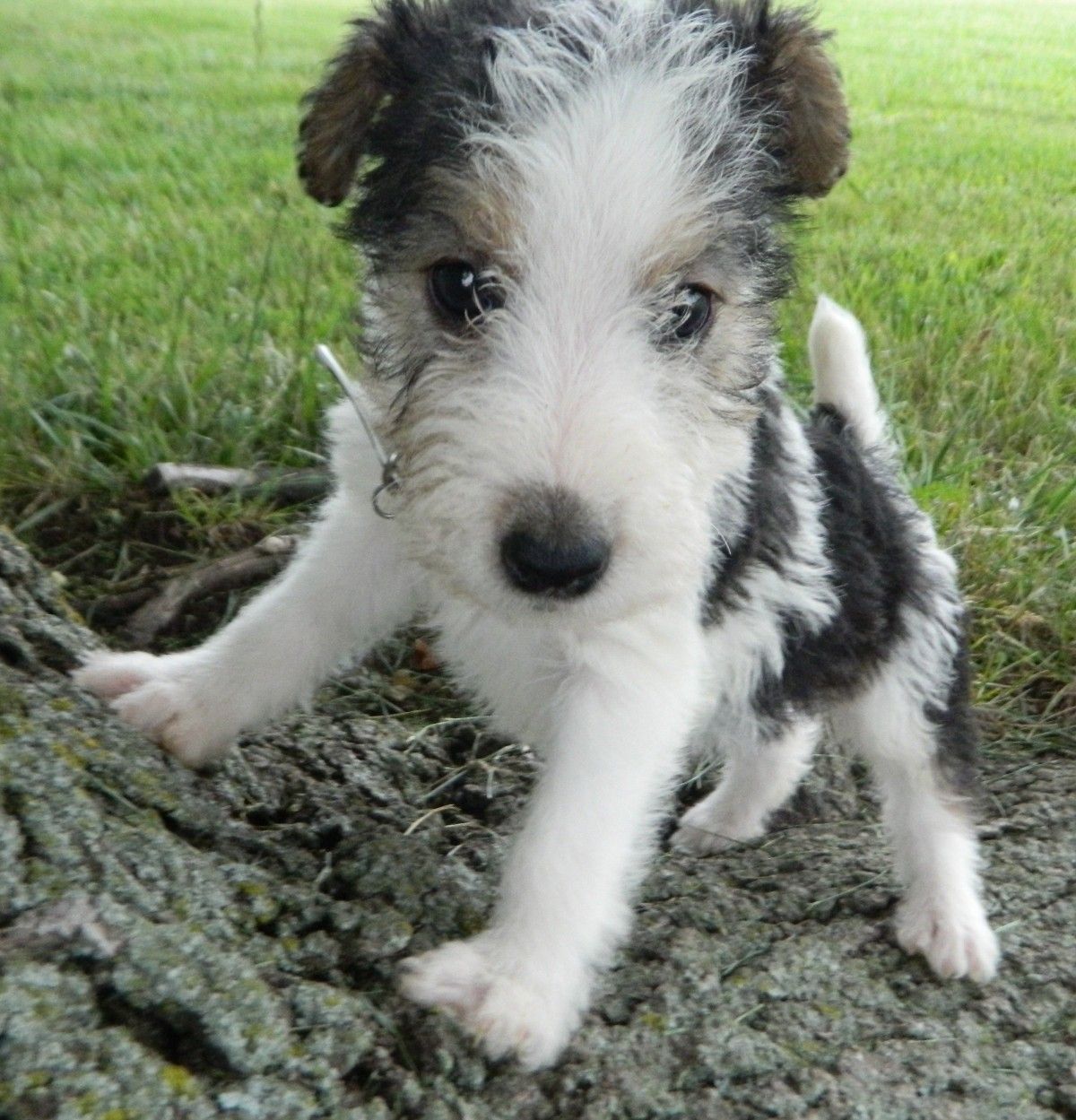 Jacksonville Beach, FL - Fox Terrier (Wirehaired). Meet Ashe a Dog ...