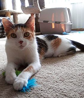 Adopt A Pet :: Tango  - Troy, MI