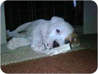 Wilmington Nc American Bulldog Meet Bailey A Pet For Adoption
