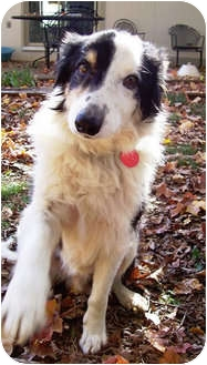 Border Collie Dog for adoption in Oliver Springs, Tennessee - Justin
