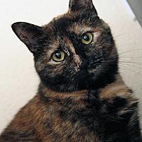 Adopt A Pet :: Ruth Bader Ginsburg - St. Louis, MO