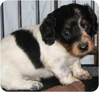 Provo, UT - Dachshund  Meet Dachshund Puppies a Pet for
