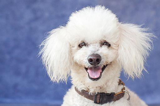 Vancouver Bc Poodle Miniature Meet Finn A Pet For