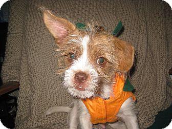 Shih Tzu Mix Puppy for adoption in Marietta, Georgia - Jasper